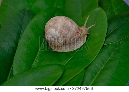 Snail Close-up On Bright Green Leaves Background.snail Slime And Mucin Concept.environment And Wildl