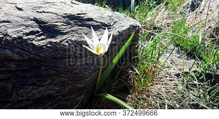 White Tulipa Patens Flower Under The Stone On A Spring Sunny Day