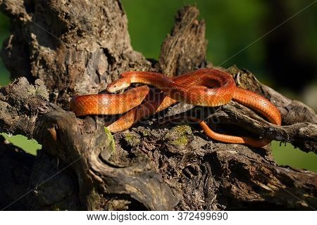 The Corn Snake (pantherophis Guttatus) Rests On An Old Tree Stump In A Typical Position. The Snake B
