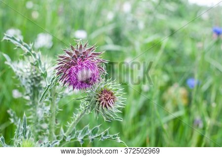 Purple Flower Of A Musk Or Nodding Thistle Wrapped In Spider Silk