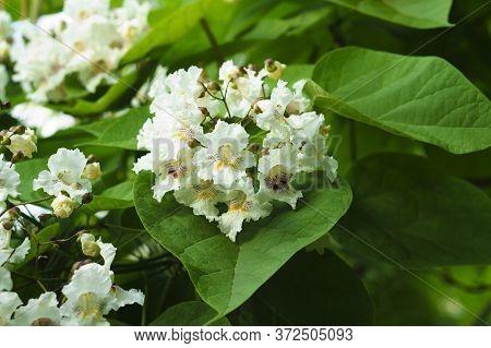 Catalpa Bignonidae Blooming In The Garden. Beautiful Flowers.