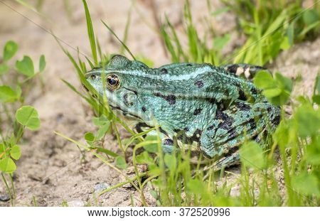 Green Frog Basking In The Sun Sitting On The Shore Of A Pond On Sunny Summer Day