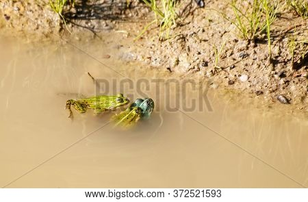 Two Frogs Copulate In A Pond On Sunny Summer Day. Third Is Watching Them