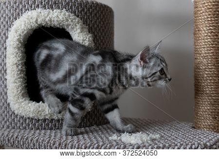 Lovable Grey Striped Cat Coming Out Of Cats Tree In The Living Room. Pets Climbing And Scratching Tr