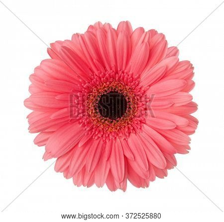 Gerbera flower of light pink-red color isolated on white background.