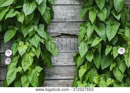 Old Wooden Wall With A Climbing Green Plant Close