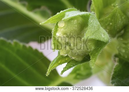 Close Up Sinningia Or Gloxinia Speciosa. One Closed Green Bud With Water Drops On The Background On