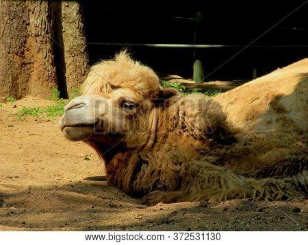 A Very Old Dromedary Arabian Camel Resting At A National Park