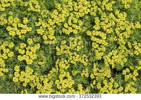 Spring Flower Background. A Bed Of Flowering Spurge Cypress Yellow Flowers.