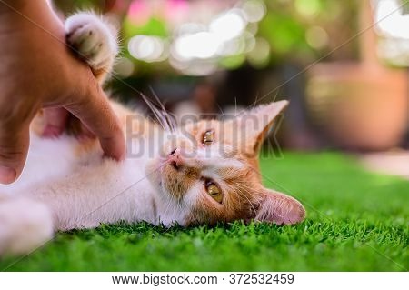 Lovely White And Brown Cat With Sunset Light Bokeh And Lens Flare Background. Cute Pet Relax In Home