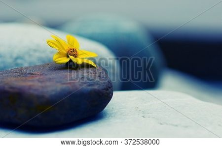 Yellow Coloured Flower On Pebble Stone In Close-up