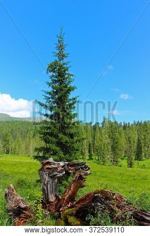 Summer Landscape In Sayan Mountains. Dry Snag, Green Meadow And Coniferous Forest. Nature Park Ergak