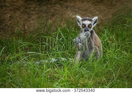 Young Ring Tailed Lemur With Long Black And White Tail And Bright Orange Eyes Sitting On Green Grass