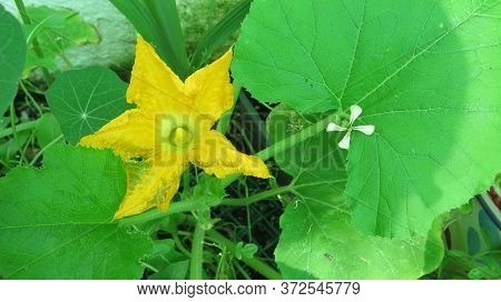Large Yellow Flower Of Courgette Plant In Overgrown Flowerbed