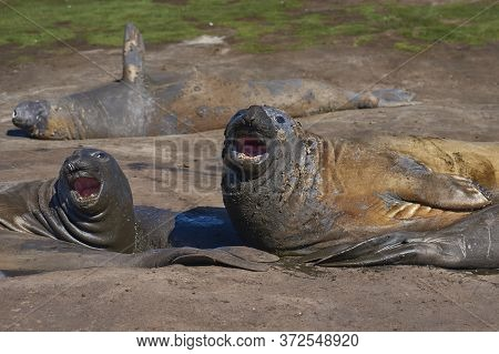 Southern Elephant Seals (mirounga Leonina) Wallowing In A Muddy Stream On Carcass Island In The Falk
