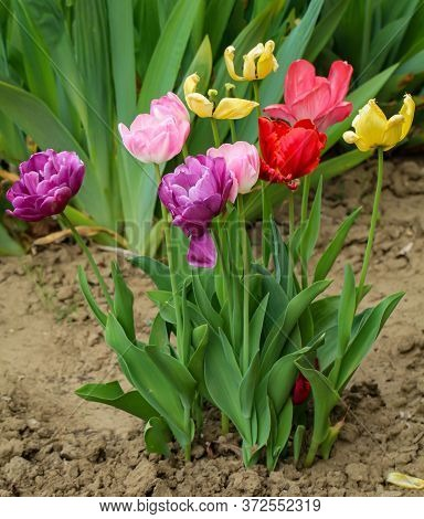 A Lot Of Colorful Tulips In A Garden