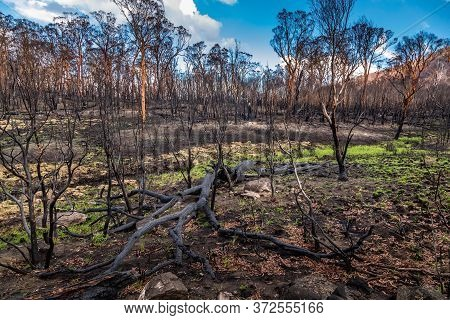 First Plants Start To Grow Again In A Forest In The Snowy Mountains, Burnt Down During The Bush Fire