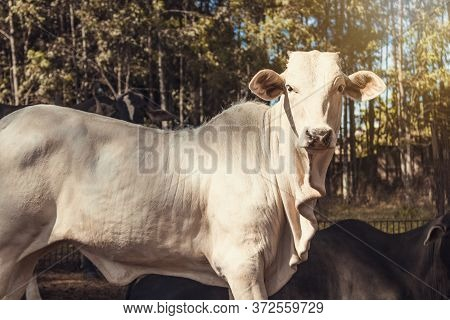 Cattle On Confinement In Farm On Brazil