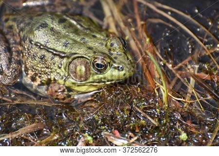 Fantastic Close Up Look At The Eyes Of A Large Toad In A Marsh.