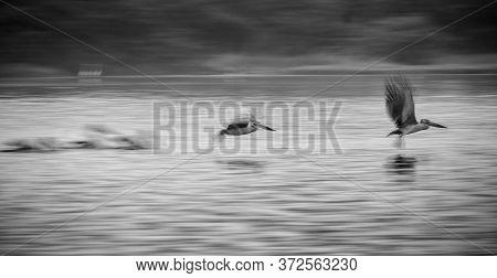 Fine Art Wildlife - Low Shutter Speed Pelican Flying. Group Of Pelican Flying On Lake Surface Captur