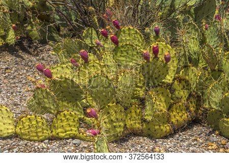 Close Up Photo Of A Blooming Cactus In Saguaro National Park, Arizona, Usa