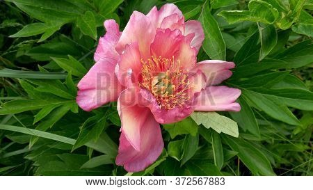 Peony Ito Hybrid Cultivar Julia Rose In The Spring Garden Close-up