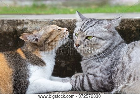 Cute And Lovely Calico Female Cat Kissing Male American Shorthair Cat On The Ground At The City Road