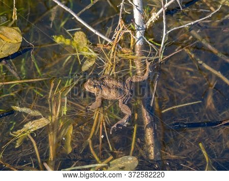 European Toad In A Pond With Clear Water