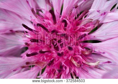 Pink Bachelor's Button Flower Closeup Macro Shot