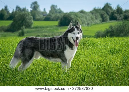 Siberian Husky Black And White Colour Outdoors. Dog Walks In The Field. Summertime. A Pedigreed Pure