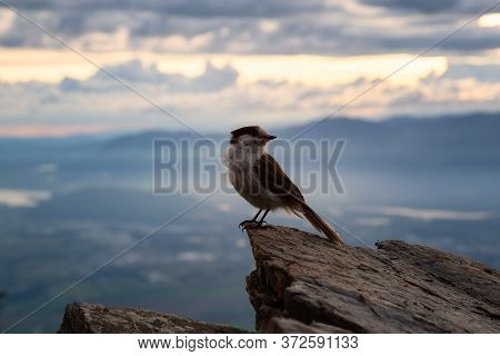 Grey Jay Sitting On Top Of A Rocky Cliff. Taken On Elk Mountain, In Chilliwack, East Of Vancouver, B