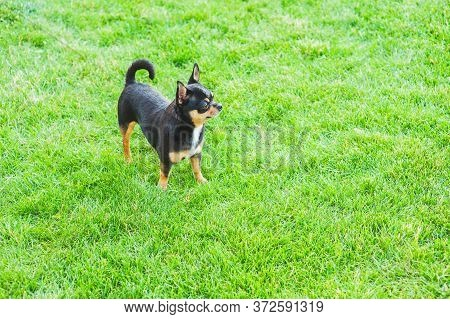 A Black And Tan Purebred Chihuahua Dog Puppy Standing In Grass Outdoors And Staring Focus On Dog\\\'