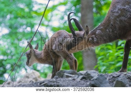 Baby Alpine Chamois On A Rocky Hill