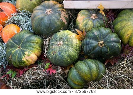 Pumpkin Varieties Zhdana Green On A Background Of Yellow Leaves, Hay. Food, Vegetables, Agriculture,
