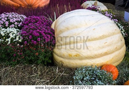 Pumpkin Of Huge Size Varieties Atlantic Giant On The Background Of Flowers Of Yellow Leaves, Hay. Fo