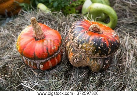 Decorative Pumpkin Varieties Turkish Turban On The Background Of Yellow Leaves, Hay. Food, Vegetable