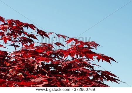 Branch With Decorative Leaves Of A Japanese Maple Tree With Blue Sky