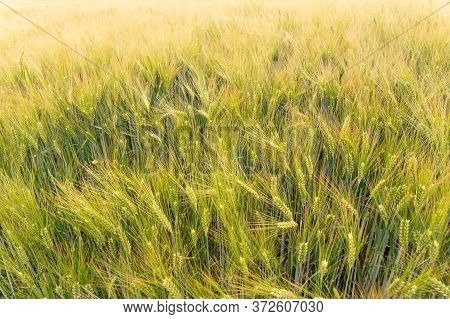Golden Barley (hordeum Vulgare) Growing On A Field. Dreamy, Shallow Depth Of Field Background.