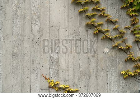 Yellow And Green Ivy Creepers Overgrowing Concrete Wall Background.