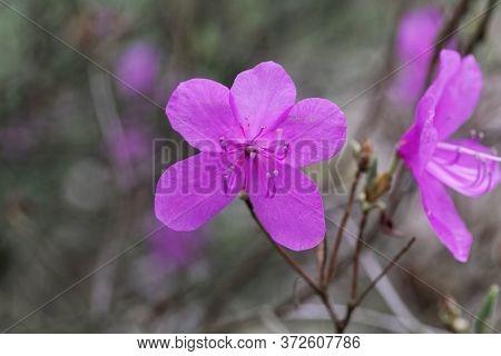 Mrs. Farrers Rhododendron, Rhododendron Farrerae