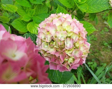 Hydrangea Flower (hydrangea Macrophylla) Blooming In Spring And Summer In A Garden. Hydrangea Macrop