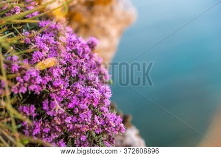 Purple Flowers Of Thymus Vulgaris Bushes Known As Common Thyme, Garden Thyme. Thyme In Front Of The