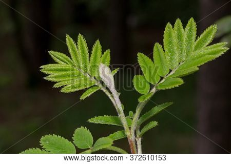 Young Twig Of Mountain Ash With Fresh Green Leaves. In The Spring Forest.