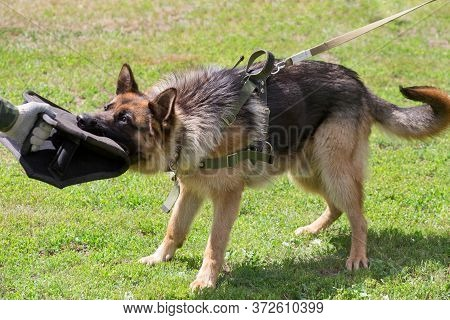 Training A German Shepherd Dog In Cynological Club. Attack Demonstration.