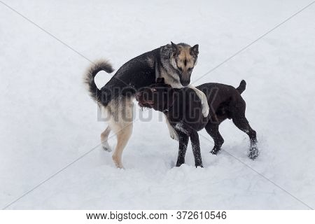 Cute Deutsch Drahthaar And Multibred Dog Are Playing On A White Snow In The Winter Park. Pet Animals