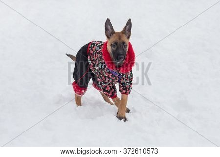 Belgian Sheepdog Puppy In Beautiful Pet Clothing Is Standing In The Winter Park. Pet Animals.