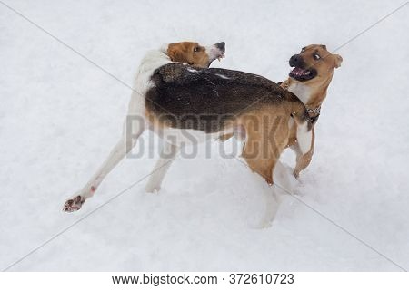 Cute Russian Hound And American Staffordshire Terrier Puppy Are Playing In The Winter Park. Pet Anim