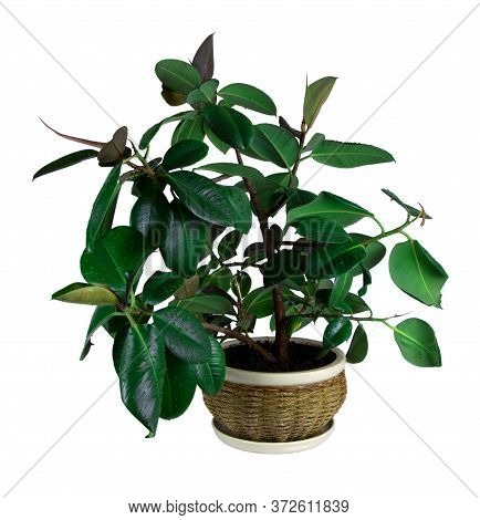 Ficus Elastica In A Pot Isolated On A White Background. House Plant. Rubber Plant. Pot With Ficus