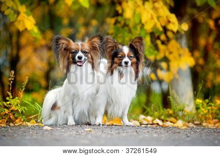 two Papillon dogs in autumn