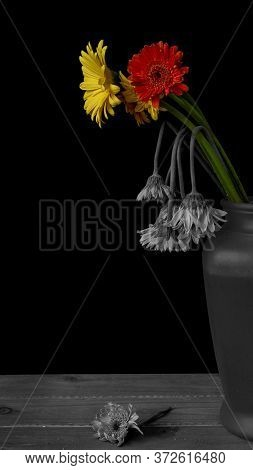 Abstract Still Life Displaying Colorful Daisies, Signifying Youth And Health And Wilted, Discolored